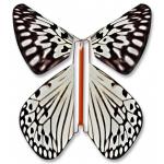 Leuconoe butterfly
